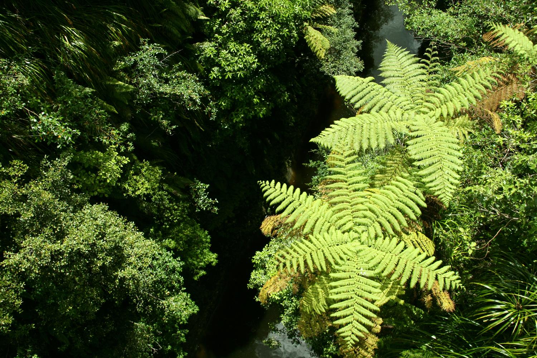 tree-ferns-whanganui-national-park